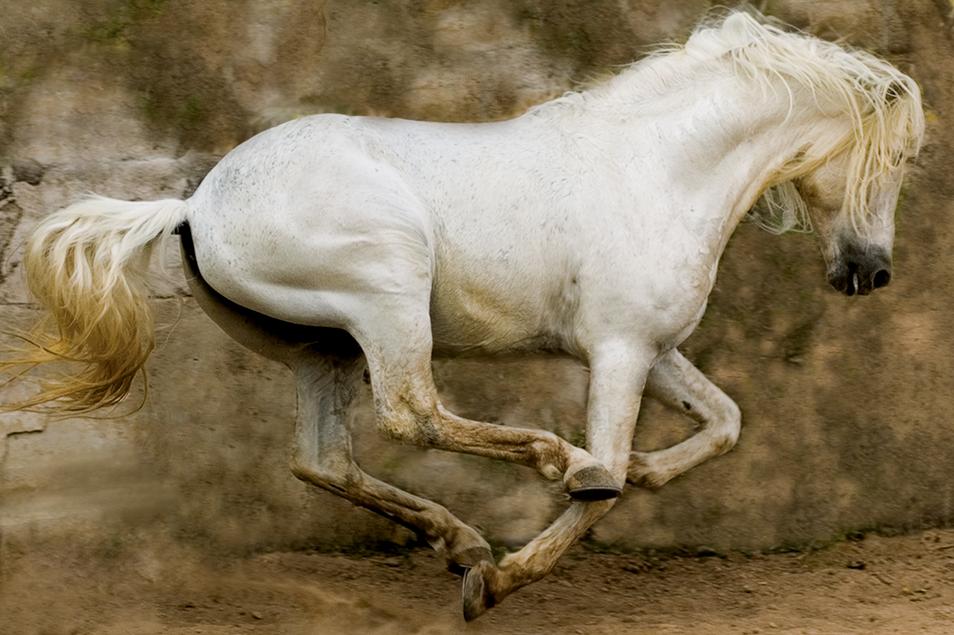 2. White_Stallion__Mexico__2004