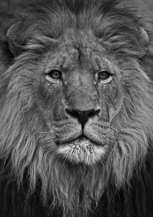 2 Lion PDN 716